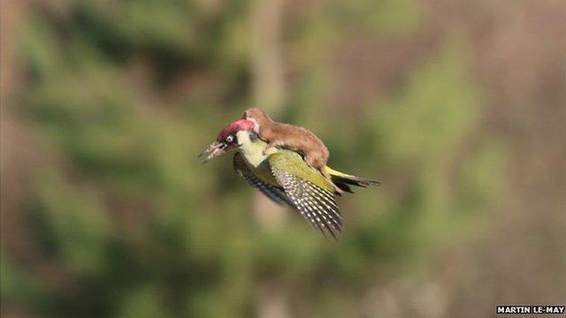 Bức ảnh chồn cưỡi chim gõ kiến gây bão trên mạng