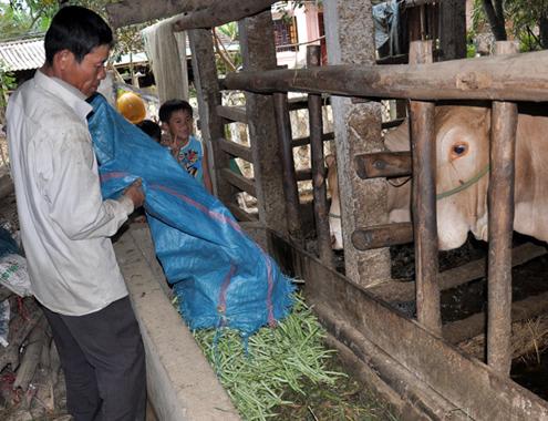 Rau rẻ như bèo, nông dân phá đổ cho bò ăn