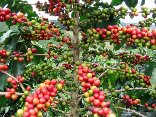 Xuất khẩu cà phê giảm cả về lượng và giá trị