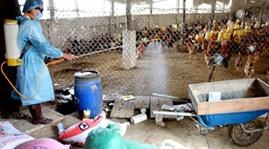 Xuất hiện ổ dịch cúm mới ở Quảng Bình