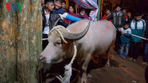Lễ hội Đền Đông Cuông 2017 không treo cổ trâu mà chỉ mổ trâu