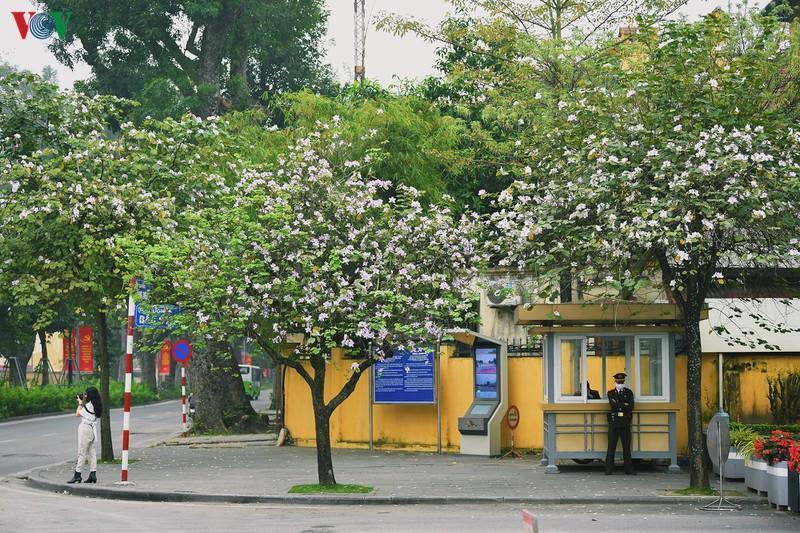 Ngắm sắc hoa ban Tây Bắc tinh khôi, đẹp nao lòng ở Hà Nội