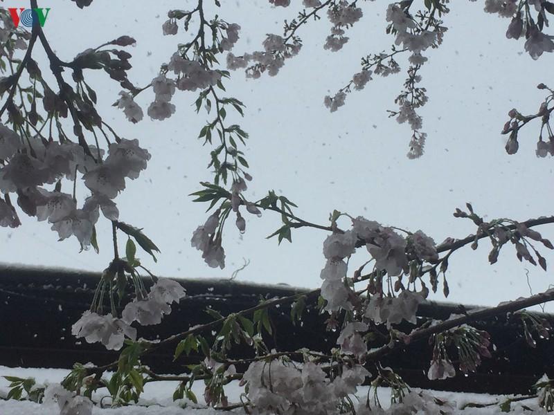 Chiêm ngưỡng vẻ đẹp của tuyết rơi giữa mùa xuân tại Nhật Bản
