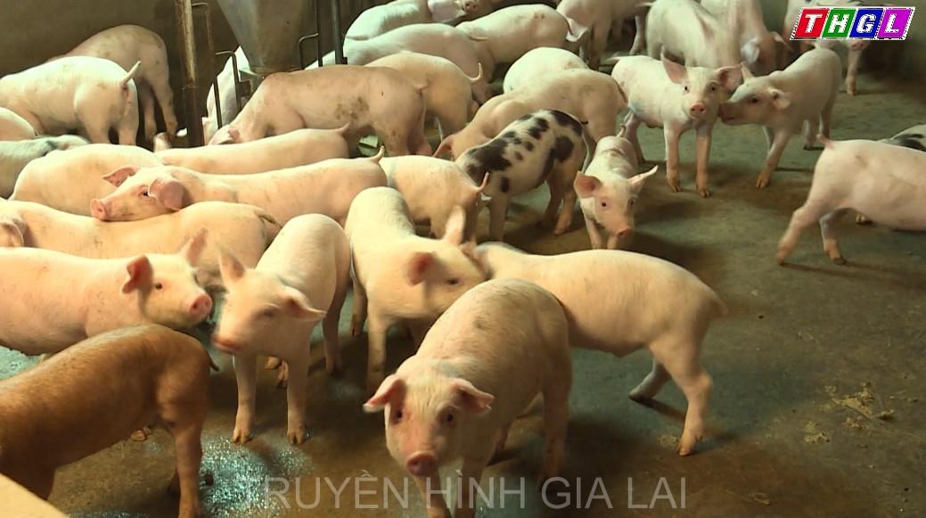 Gia Lai công bố hết bệnh dịch tả lợn châu Phi