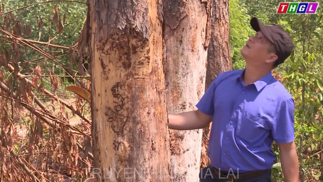 Hàng chục cây thông 40 năm tuổi tại xã Ya Hội, huyện Đak Pơ chết khô
