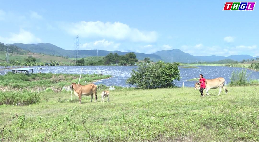 Tập trung phát triển đàn bò lai trong vùng đồng bào dân tộc thiểu số