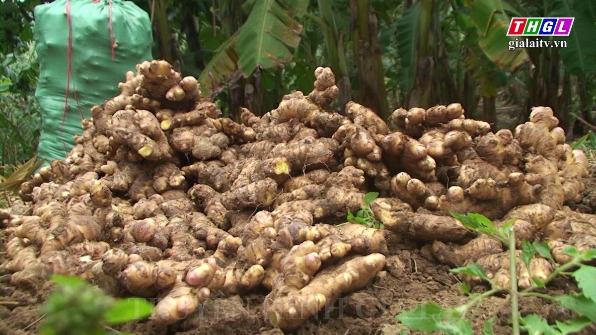 Hướng Hóa: Nông dân phấn khởi thu hoạch gừng vụ tết với giá cao