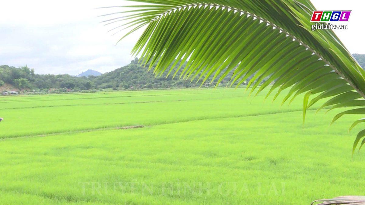 Nông dân Lâm Đồng trồng nếp quýt hữu cơ