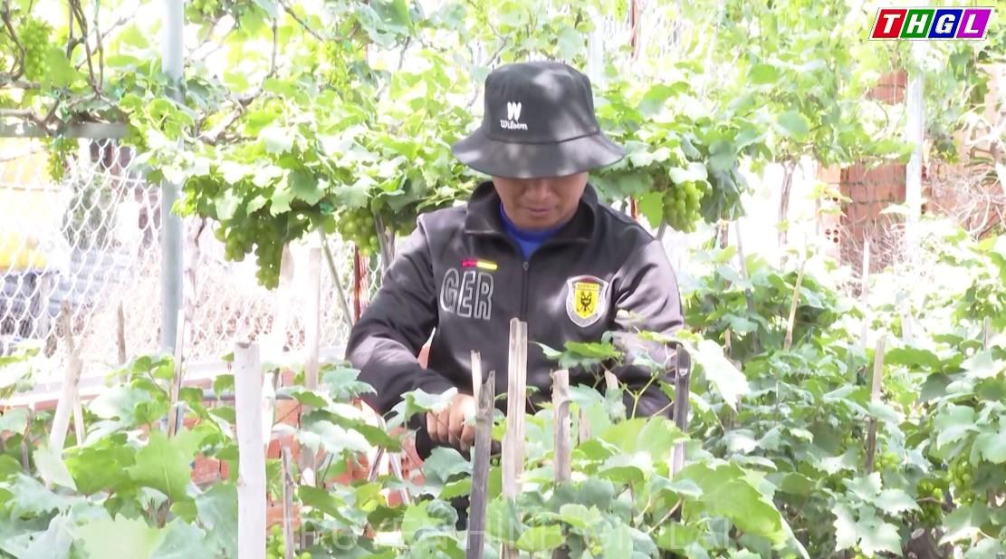 Nhà vườn tỉnh Ninh Thuận chuẩn bị nho cảnh phục vụ Tết