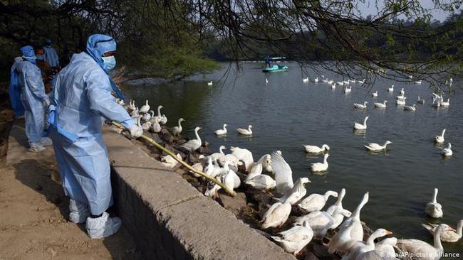 Thêm ca nhiễm cúm gia cầm H5N8 độc lực cao, Hàn Quốc trước nguy cơ tái bùng phát dịch