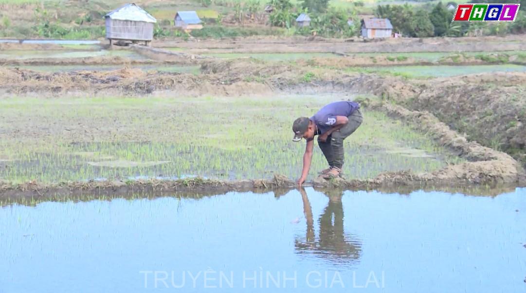 Toàn tỉnh Gia Lai đã gieo trồng được gần 140 ngàn ha cây trồng các loại