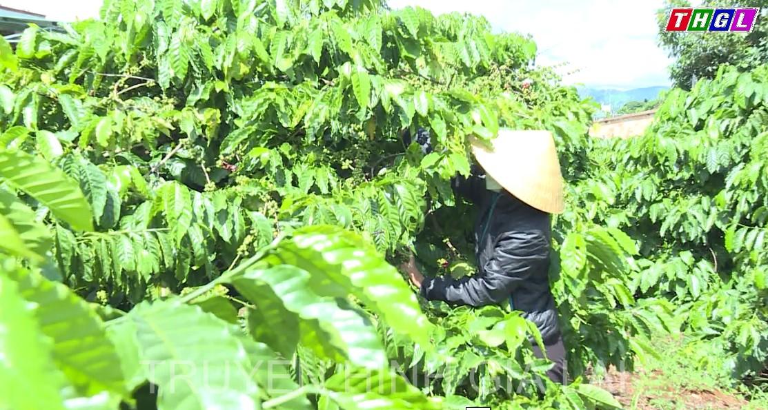 Người trồng cà phê huyện Ia Grai phấn khởi khi cà phê đạt năng suất