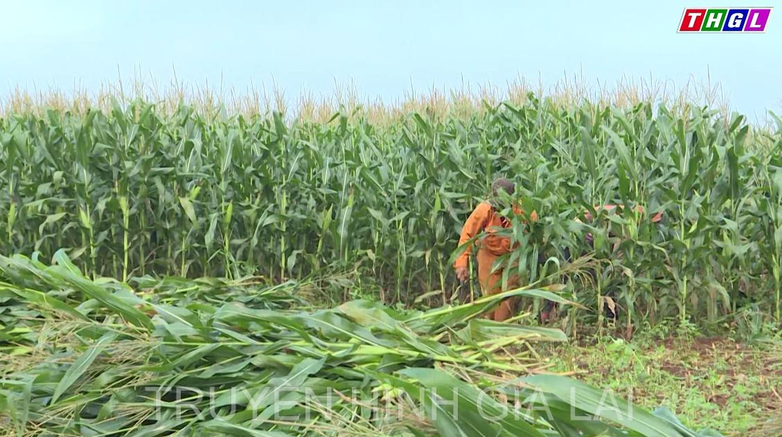 Hiệu quả từ một mô hình liên kết theo chuỗi giá trị trong sản xuất nông nghiệp